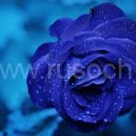 Красивые, но опасные: что нужно знать, даря цветы в День святого Валентина